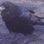 raven-300x254